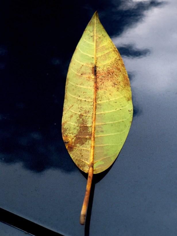 Ficus lawesii Y3A1453.JPG