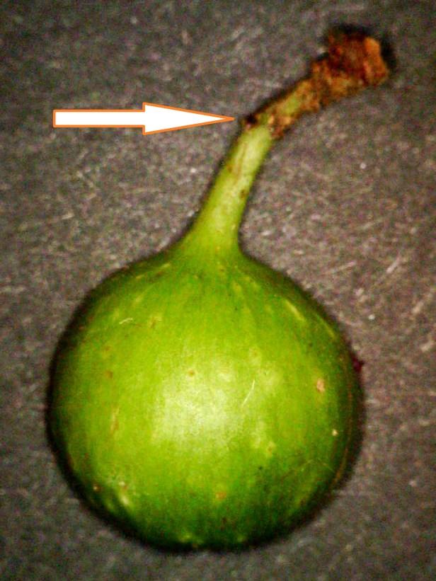 Ficus tengerensis 02