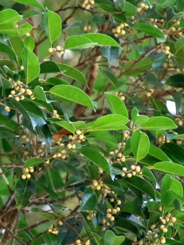 Ficus viren  10 0C7A6279.JPG