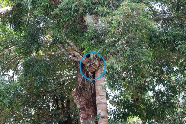 Ficus virens 08 0C7A5697 - BLUE CIRCLE.JPG