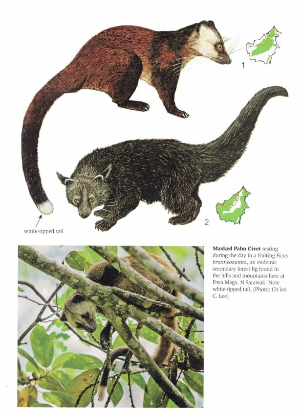 269 Binturong and Masked Palm Civets.jpg
