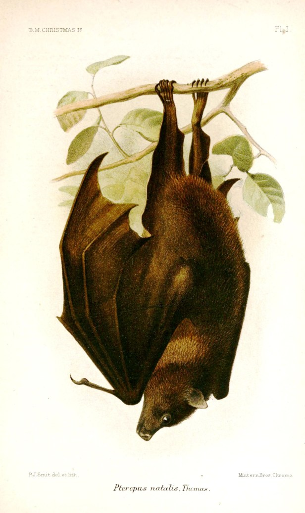02 Christmas-Island-Fruit-Bat .jpg