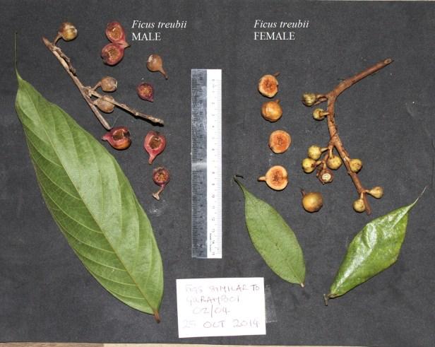 03 Ficus treubii male and female compared IMG_3532 - Copy.JPG
