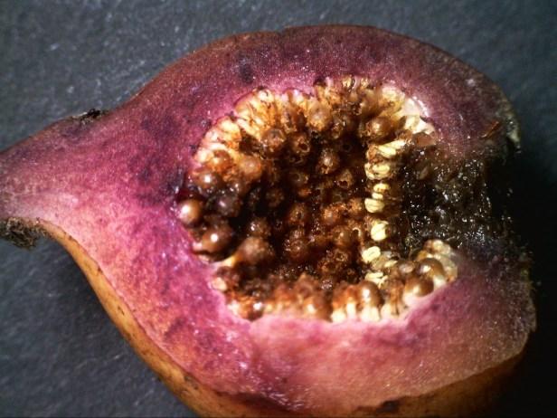 05 Ficus treubii Male oxidizes purple stain.jpg