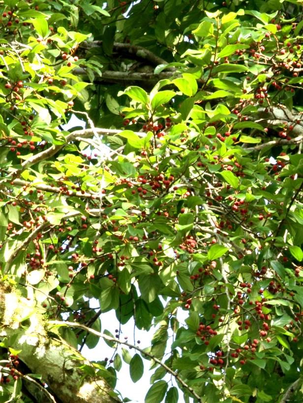 01 Ficus trichocarpa at Tabin IMG_3788.JPG