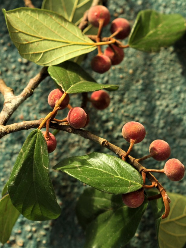 03 Ficus trichocarpa Tabin IMG_3075.jpg