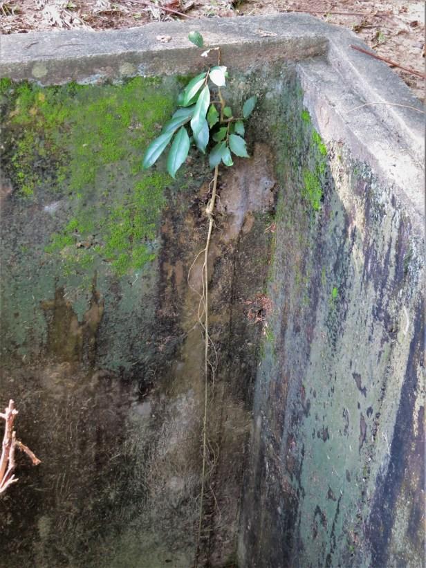 Ficus tinctoria gibbosa growth habits Sabah Muzium KK IMG_2035
