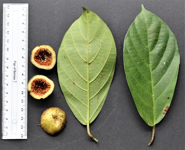 01 Ficus lepicarpa 3Y3A0022.JPG