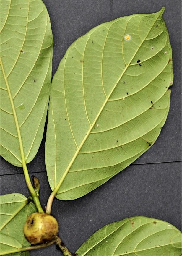 01 Ficus lepicarpa Y3A0027.JPG