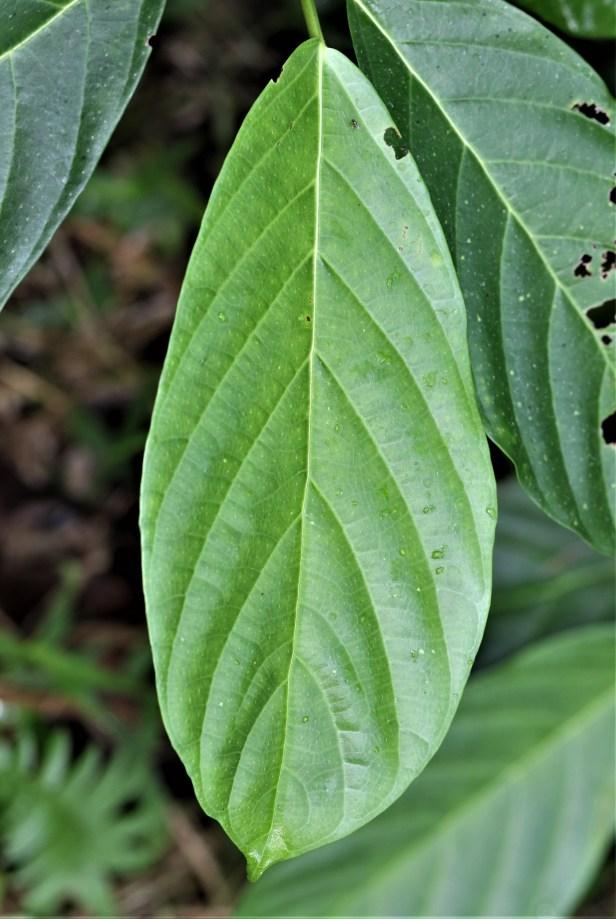 02 Ficus lepicarpa 3Y3A0472.JPG