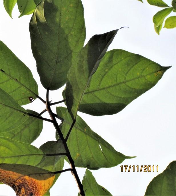 03 Ficus fistulosa IMG_0258.JPG