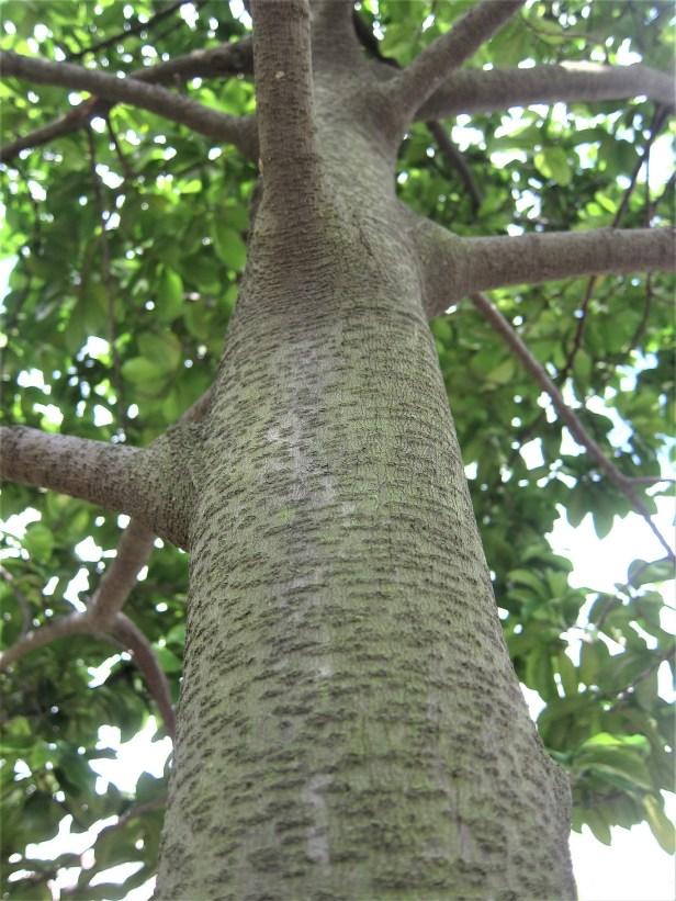Artocarpus_nitidus  Wikimedia commons_subsp._lingnanensis.jpg