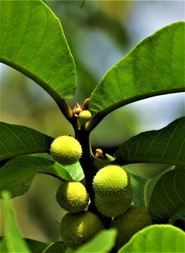 Ficus nitidus IMG_2589.JPG