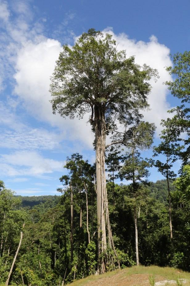 Maliau Basin fig3Y3A1916.JPG