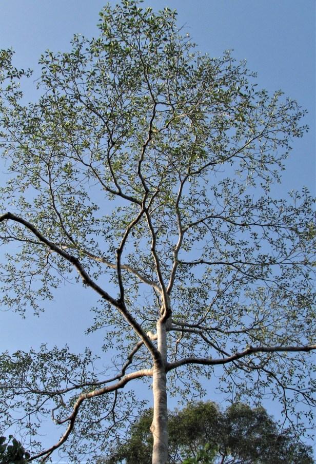 03 Ficus nervosa IMG_3852.JPG