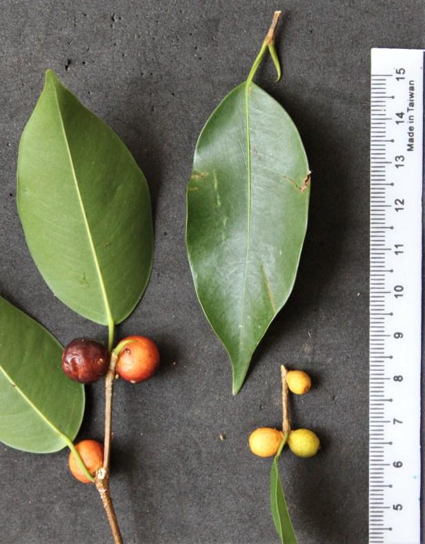 FRUIT & LEAVES benjamina IMG_3329