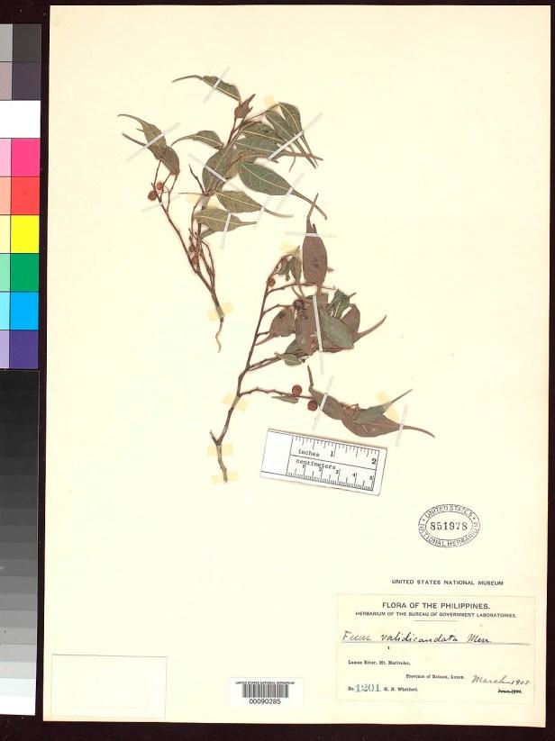Ficus ampelas Philippines 8045957216_b358dac672_o.jpg
