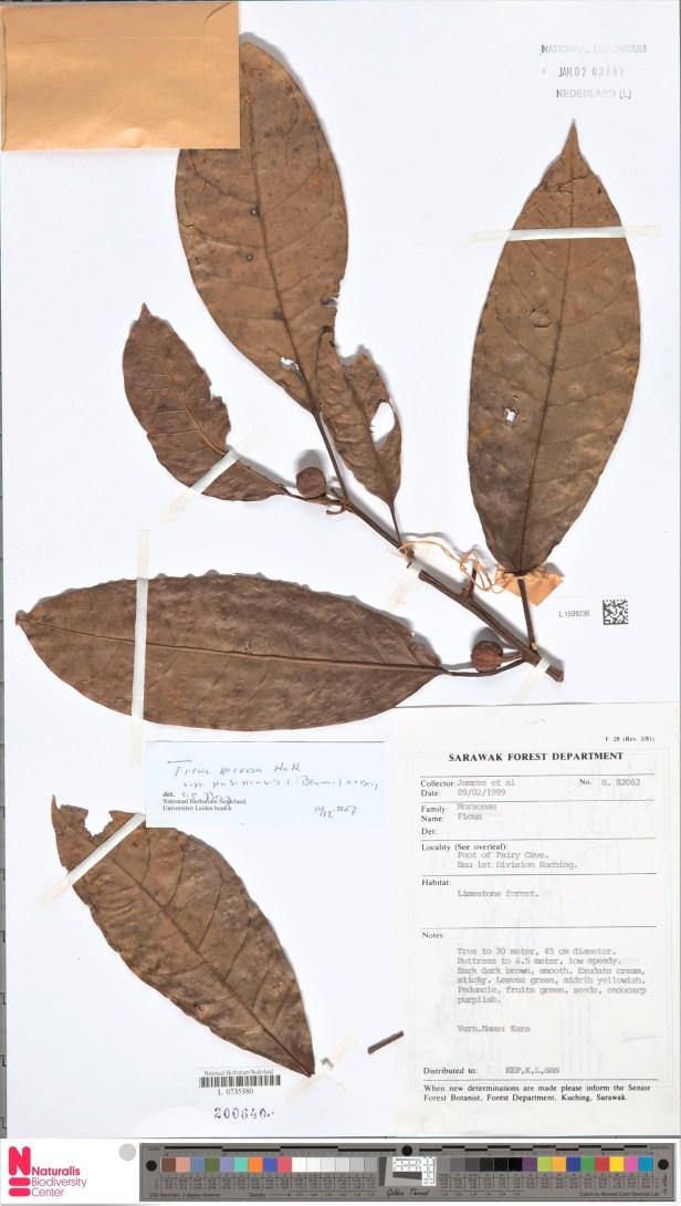 Ficus nervosa Bau Kuching 001362784-L.1599236 - Copy