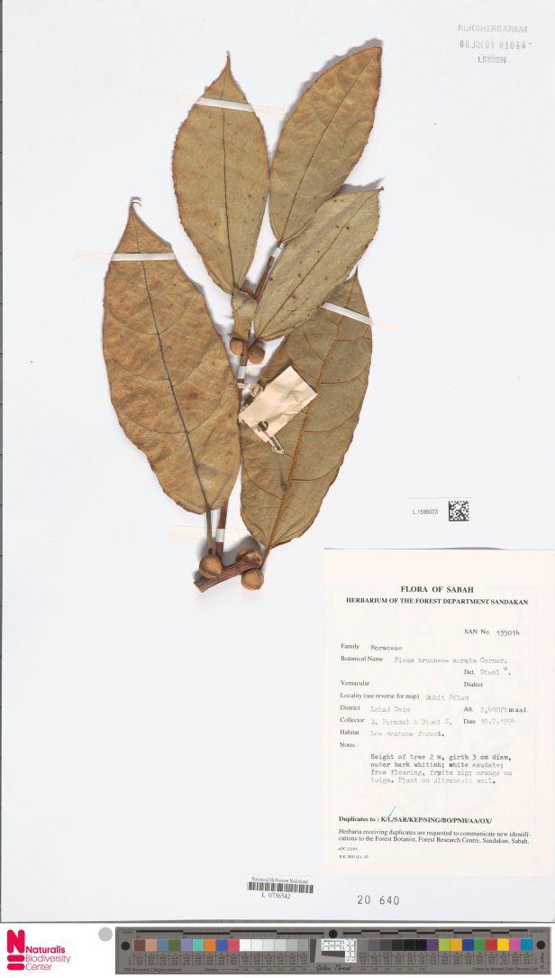 Inaequipetiolata Bukit Silam labelled as brunneoaurata Naturalis 001372861-L.1596023.jpg