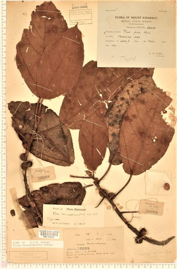 TYPE Ficus brunneoaurata SING - Copy.jpg