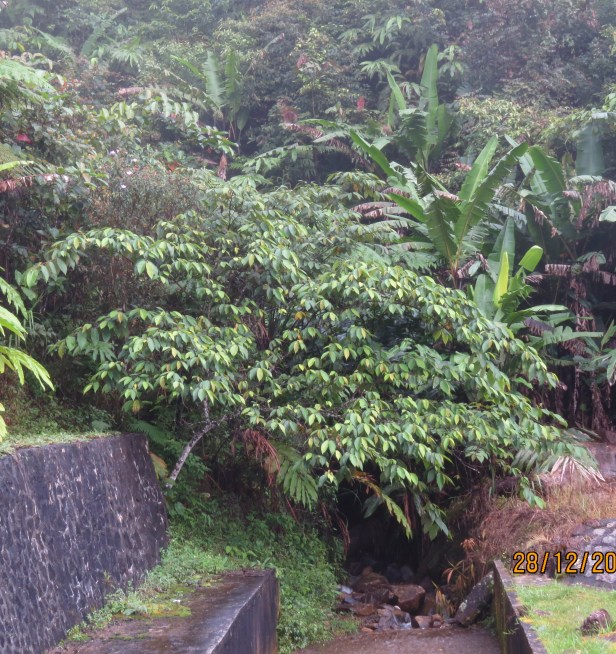 05 Ficus malayana IMG_7056