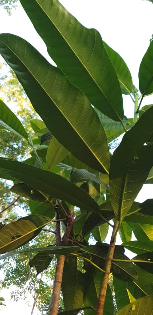 Ficus callosa 04 IMG-20191104-WA0001.jpg
