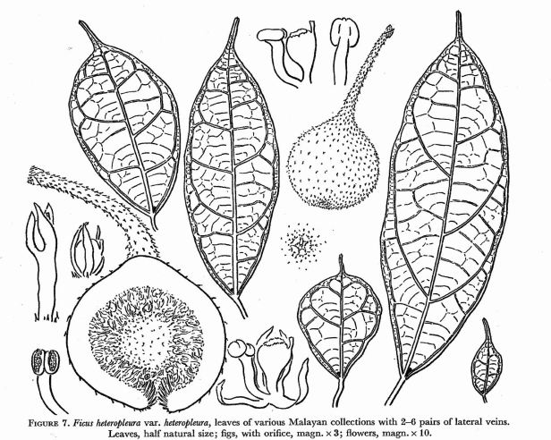 Ficus heteropleura Corner (1976).jpg