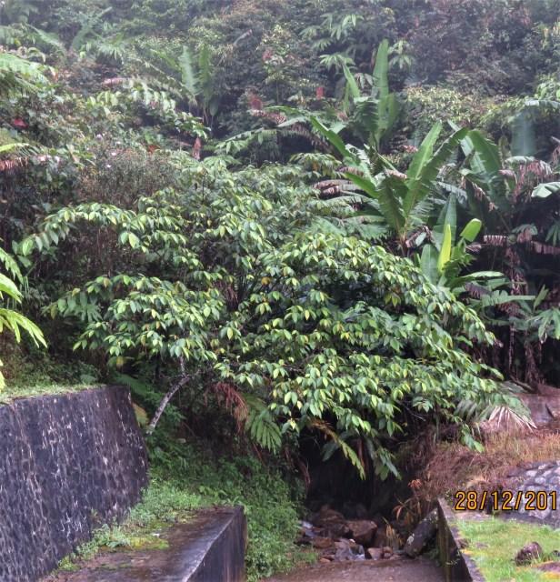 Ficus malayana 06 IMG_7056.JPG