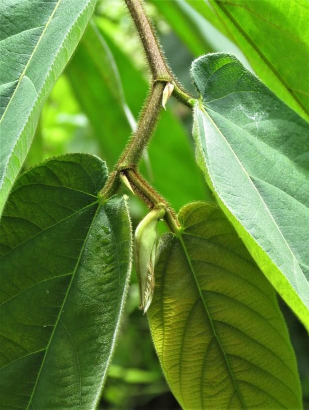 Ficus malayana  07IMG_9618.JPG