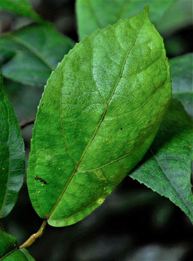 02 Ficus setiflora Silau Silau Trail●20190338★ Shuai LIAO-LSL_8481.JPG