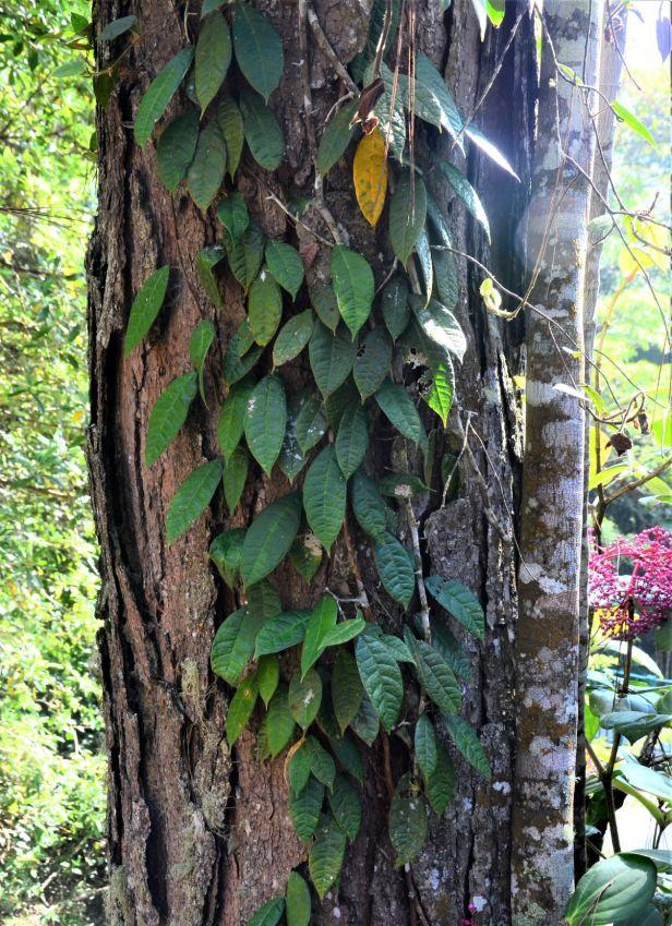 04 Ficus carrii Kinabalu Park●20190332★ Shuai LIAO-LSL_8336.JPG