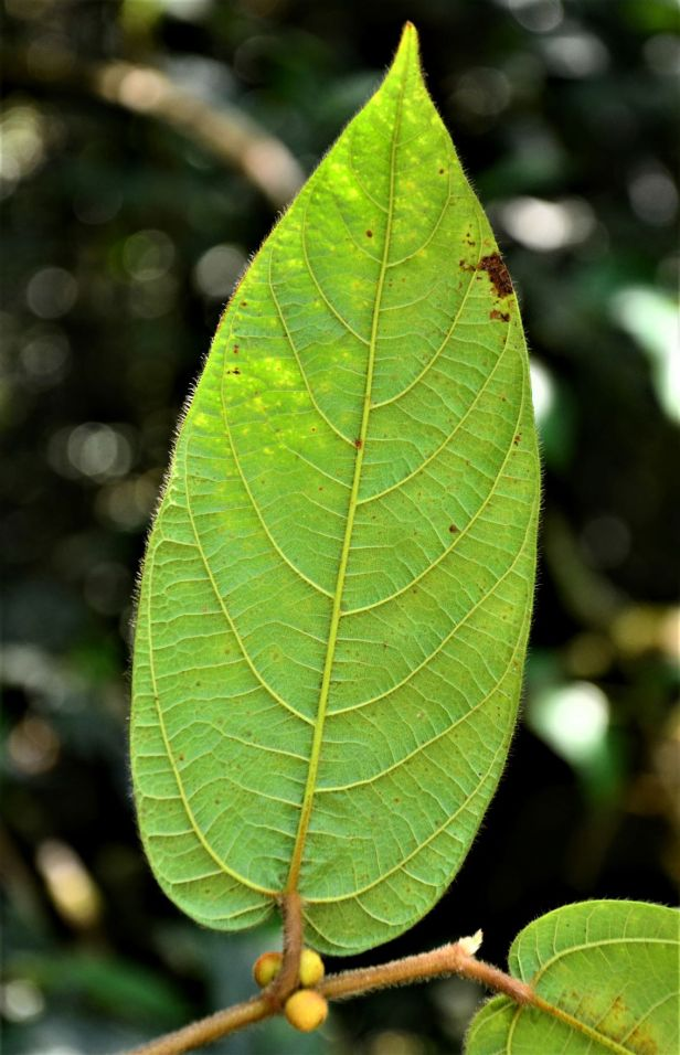 04 Ficus villosa  Kinabalu Park●20190336★ Shuai LIAO-LSL_8436.JPG