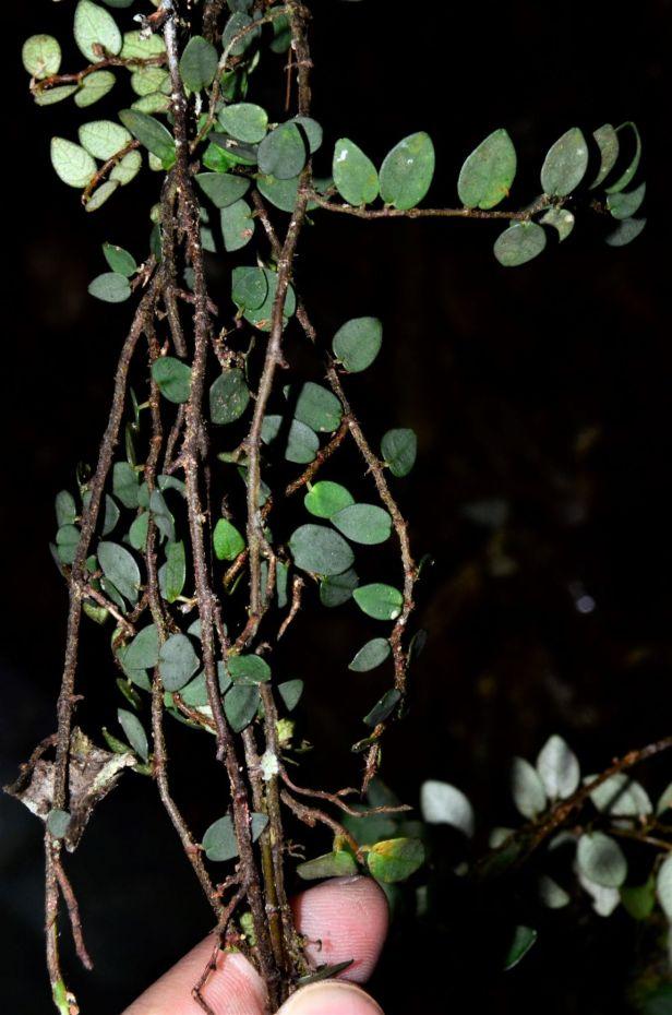 05 Ficus excavata Kinabalu Park●20190333★ Shuai LIAO-LSL_8352