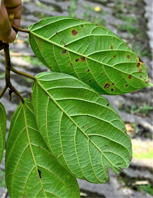 05 Ficus sattertwhaitei Kinabalu Park HQ ●20190337★ Shuai LIAO-LSL_8450.JPG