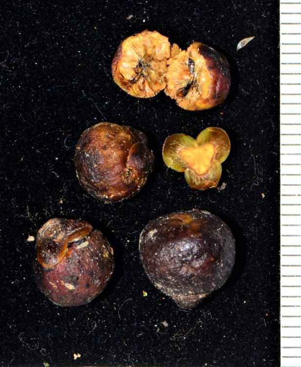 05 Ficus sumatrana Kinabalu Park●20190341★ Shuai LIAO-LSL_9172.JPG