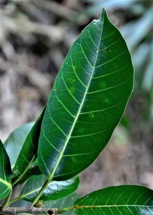 06 Ficus drupacea Pulau Gaya●20190321★ Shuai LIAO-LSL_8139