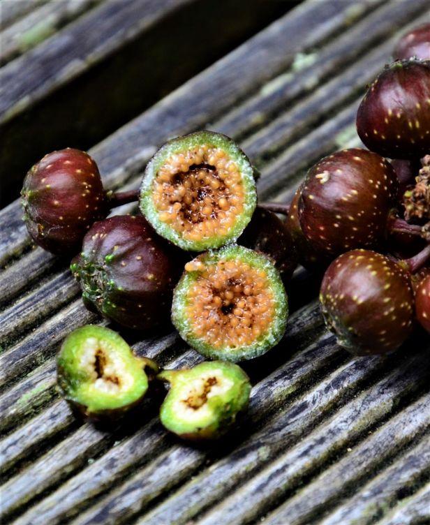 07 Ficus tarennifolia Kinabalu Park●20190342★ Shuai LIAO-LSL_8582.JPG