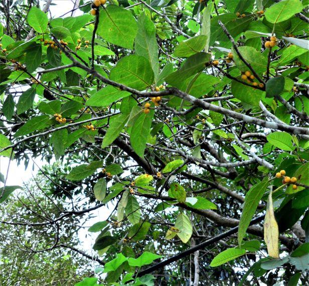 08 Ficus aurata  Ranau, Kg. Libang●20190347★ Shuai LIAO-LSL_8649.JPG