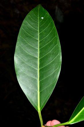 08 Ficus dubia Pulau Gaya, Base Camp●20190328★ Shuai LIAO-LSL_8250