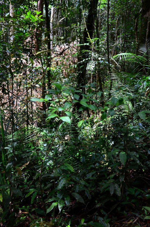 08 Ficus setiflora  Kinabalu Silau Silau Trail●20190338★ Shuai LIAO-LSL_8489.JPG