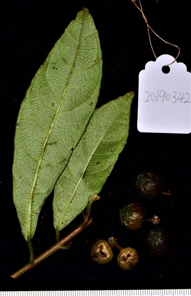 08 Ficus tarennifolia Kinabalu Park●20190342★ Shuai LIAO-LSL_9164.JPG