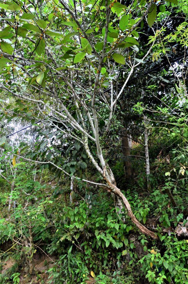 09 Ficus aurata Ranau, Kg. Libang●20190347★ Shuai LIAO-LSL_8652.JPG