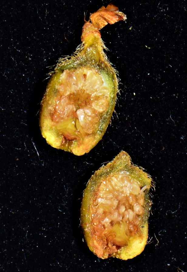 12 Ficus villosa seeds Kinabalu Park●20190336★ Shuai LIAO-LSL_9157.JPG