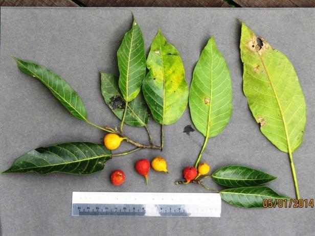 Ficus nervosa IMG_7926.JPG