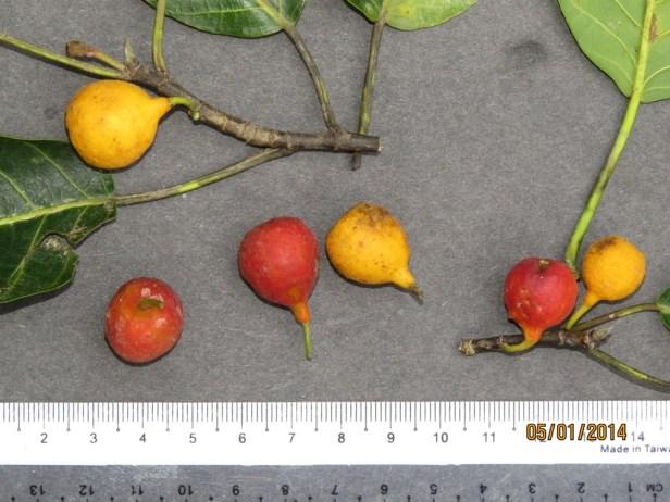 Ficus nervosa IMG_7930