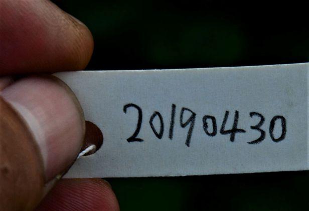 01 Ficus depressa, Tongod,●20190430★ Shuai LIAO-LSL_1826