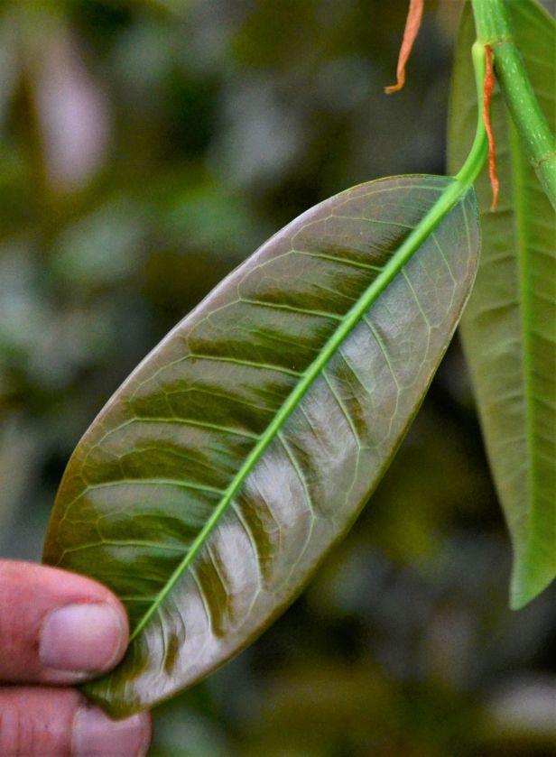 01 Ficus globosa Tambunan●20190400★ Shuai LIAO-LSL_.JPG