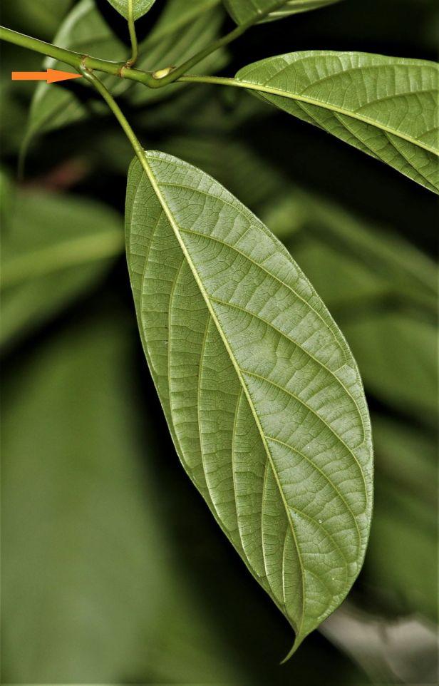 01 Ficus lumutana Gland with arrow 3P7A6664.JPG