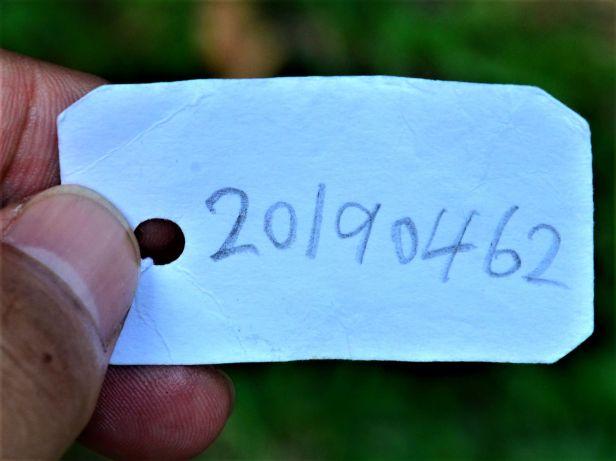 01 Ficus sugederi Sepilok B&B●20190462★Shuai LIAO-LSL_3170.JPG