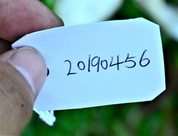 01 Ficus sundaica , Rainforest Discovery Centre,Jalan Fabia●20190456★Shuai LIAO-LSL_2968.JPG
